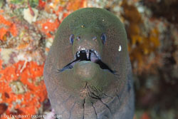 BD-130709-Maldives-9909-Gymnothorax-javanicus-(Bleeker.-1859)-[Giant-moray].jpg